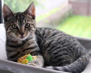 kleine getigerte Katze in einer Hängematte vor dem Fenster, mit Spielzeug