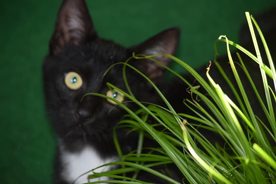 Kopfansicht eines schwarzen Katers hinter einem Grasbüschel