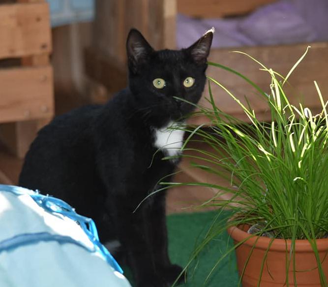 schwarzer Kater mit weißem Latz sitzt neben einem Blumentopf mit Gras, schaut in die Kamera